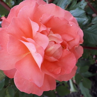 I jeszcze jedna róża.