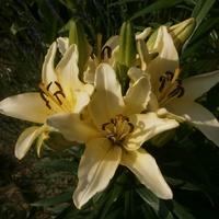 I pierwsza lilia...