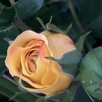I wreszcie róże....