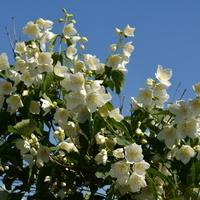 Jaśminowiec kwitnący