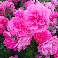 Jak róża to najlepiej różowa....