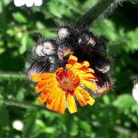 Jastrzębiec -chwast czy roślina ozdobna ?