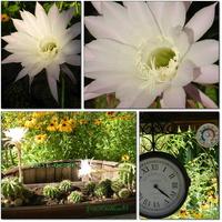 Kaktusy w moim ogrodzie