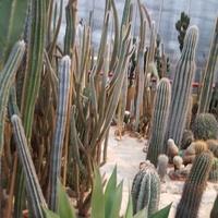 Kaktusy w Palmiarni .......