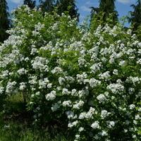 krzak białych róż