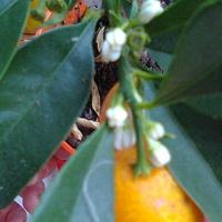 Kumkwat pąki kwiatowe i owoce