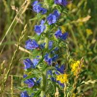 Kwiat łąkowy, Żmijowiec.