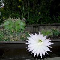 Kwitnący kaktus w moim ogrodzie