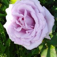Lila róża......