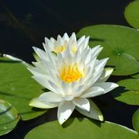 Lilia wodna biała