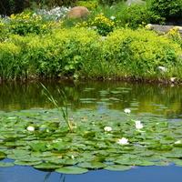 lilie wodne białe