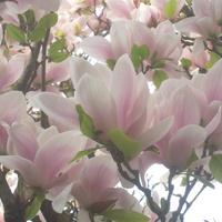 magnolia....
