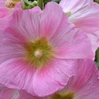Malwa różowa z bliska