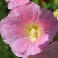 Malwa różowa z bliska.