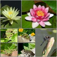 Oczko wodne-Grzybienie , żabki,ważka