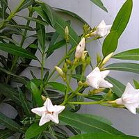 Oleander powoli rozkwita