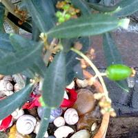 Oliwka europejska-Olea europaea zawiązała owoce