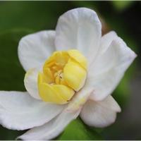 Ostatnie kwiatki kielichowca...