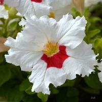 Petunia kolorowa z bliska