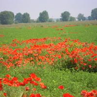 pole makowe