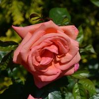 róża klasyczna