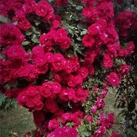 Róża nad wejściem do ogrodu.