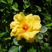 Róża W Kolorze Sł