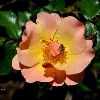 róża w pastelowym kolorze.