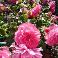 Róża w pełnym rozkwicie...