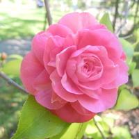 róża................
