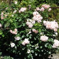 Róże-królowe kwiatów
