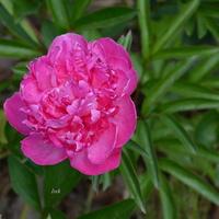 różowa piwonia