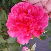różowa róża z