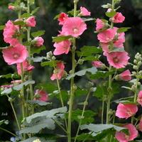 różowe, uśmiechnięte kwiaty