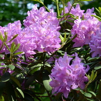 rododendron rozowy