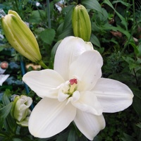 Rozkwita pierwsza lilia...