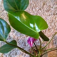 Szczepka fioletowego anturium