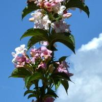 krzewuszka kwitnąca