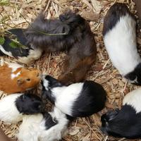 świnki w Ostrawie w zoo