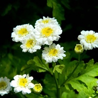 Złocące ogródek)