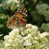 Zapach przyciąga mnóstwo motyli :)