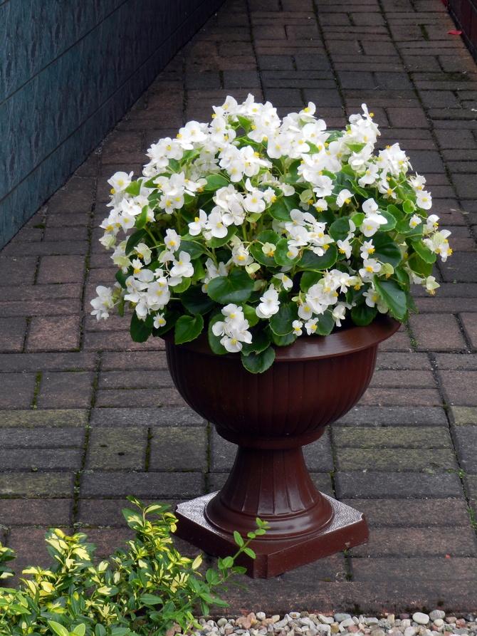 Begonia rabatowa