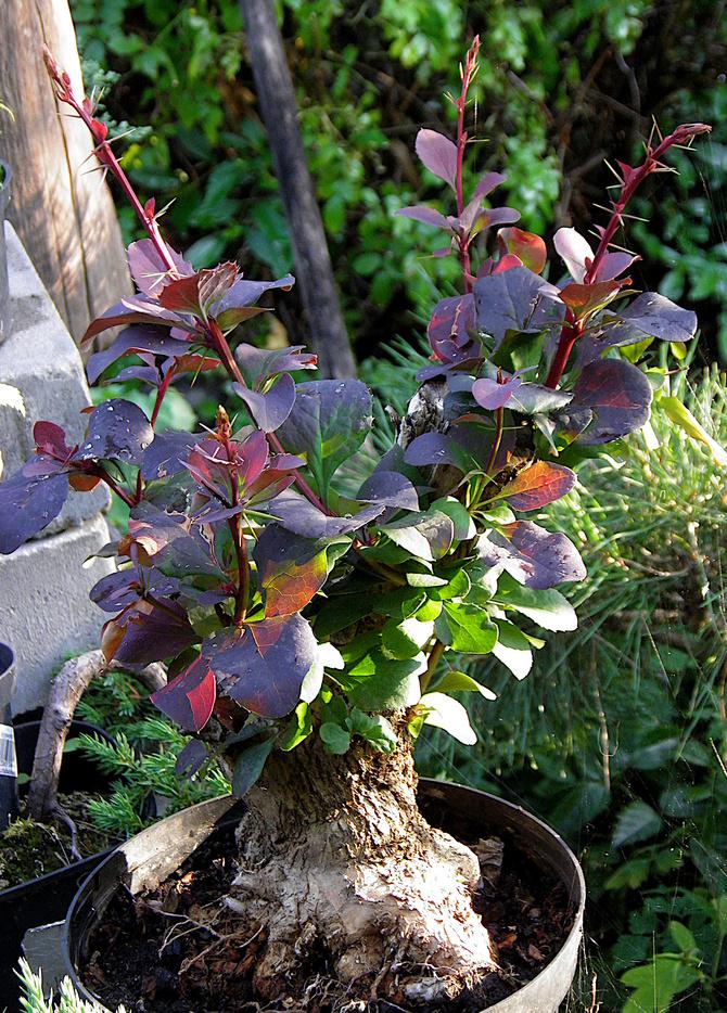 berberys jako bonsai