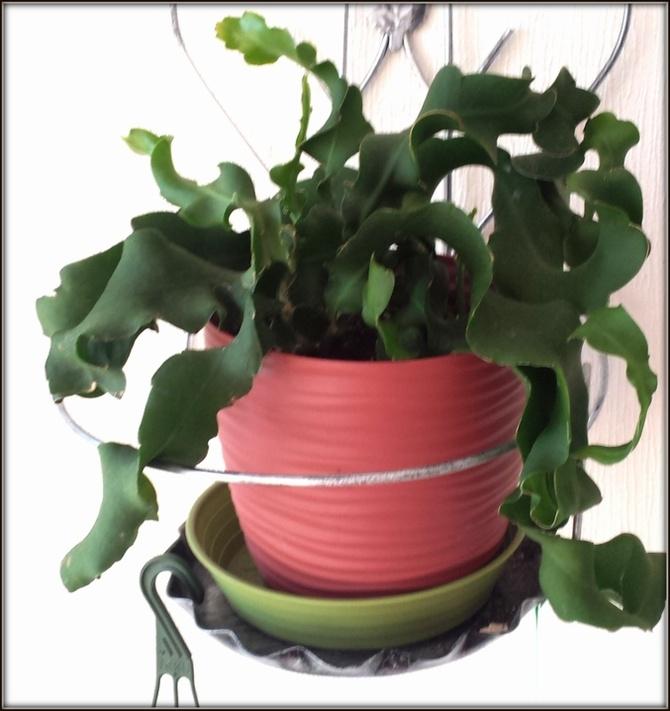 Kaktus storczykowy 'Monstrose'