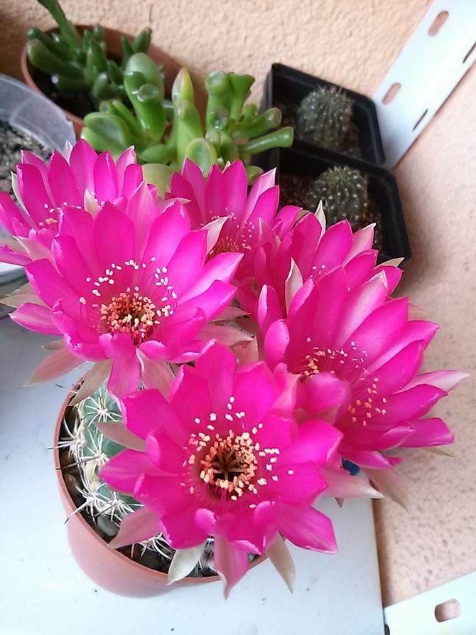 Kaktusik szt.1 kwiatów szt.6