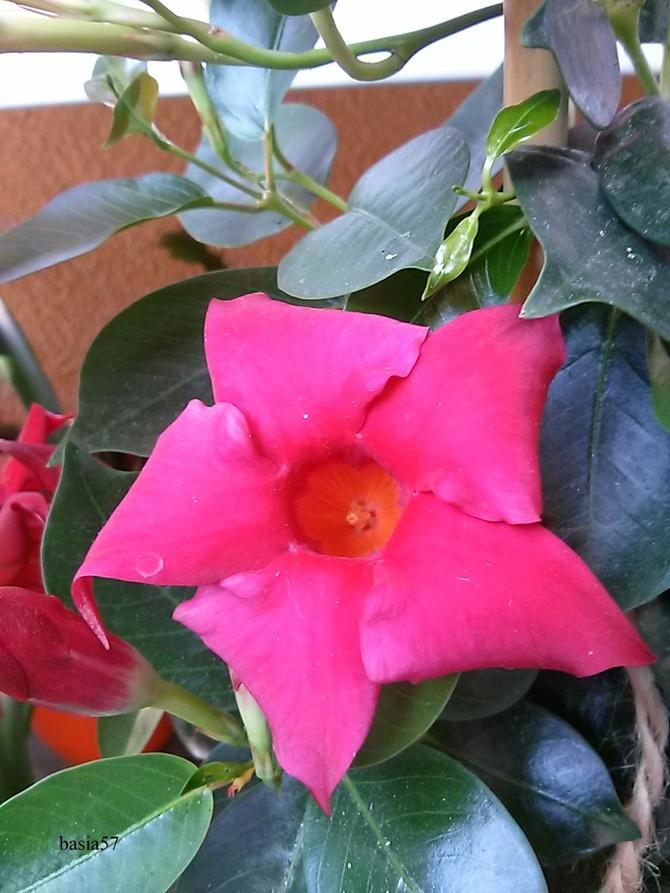 Mandevilla, piękne długo kwitnące .