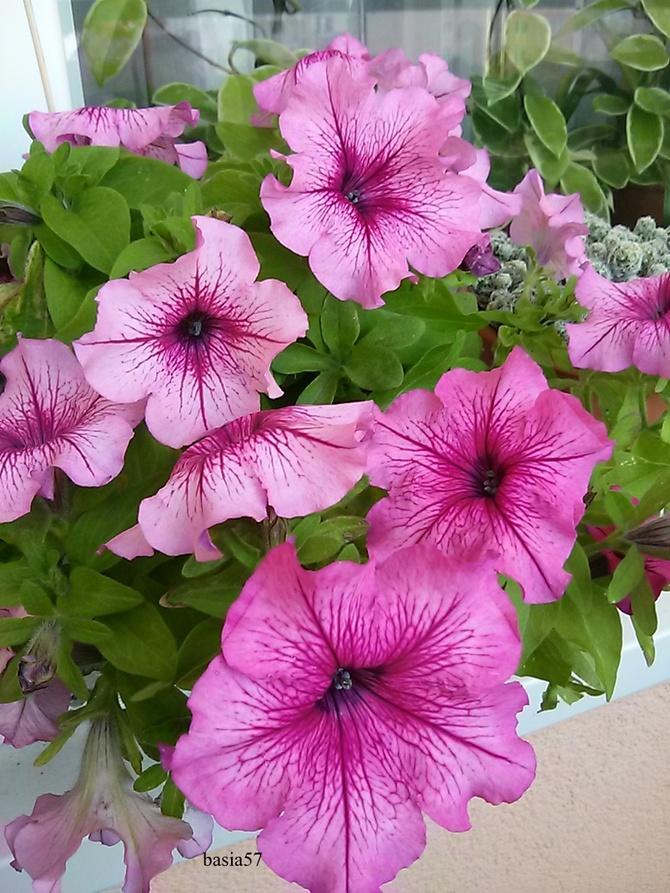 Petunia na balkonie i jest pachnąco i kolorowo.