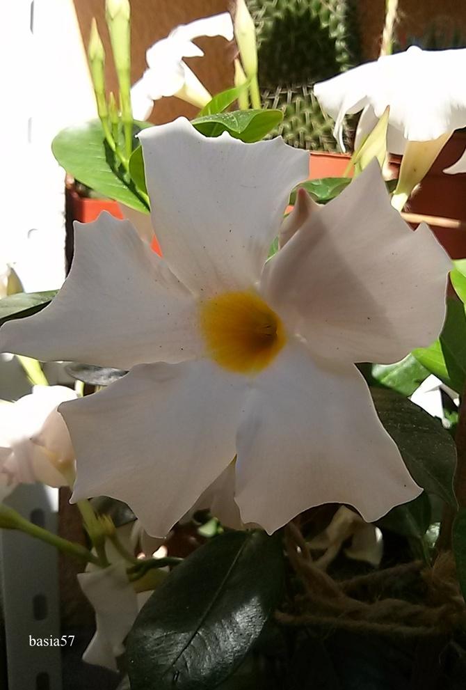 Sundaville o białych kwiatach