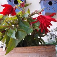 Begonia zwisająca