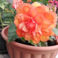 Begonia. ;)